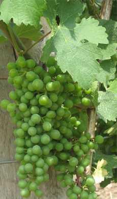 Omogna vindruvor